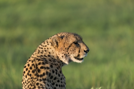 Cheetah enjoying the afternoon sun