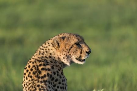 Cheetah enjoying the afternoon sun