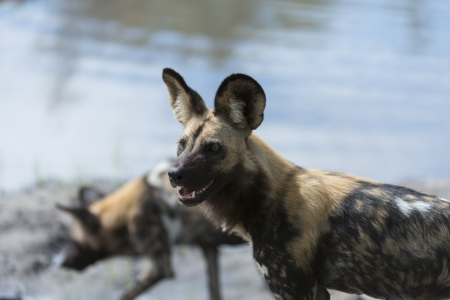 likaon: Two African wild dogs near the water