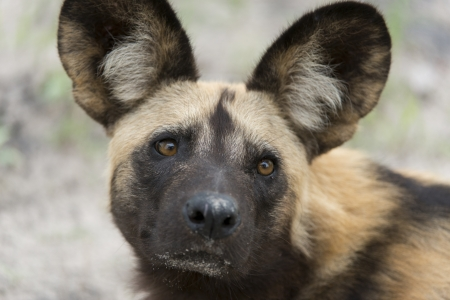 relentless: African wild dog portrait Stock Photo