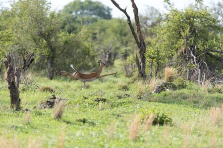 An impala showing off