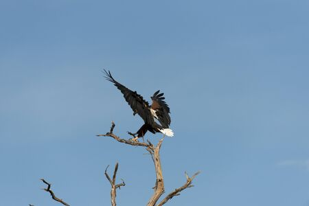 African fish eagle about to land Stock Photo