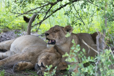 A lioness with her son  photo