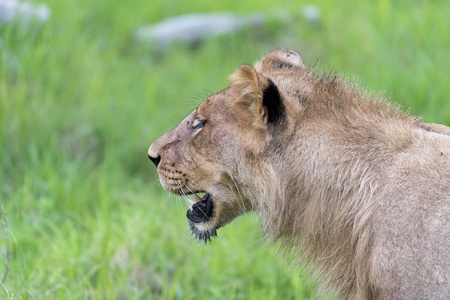 A young male lion in the morning close up