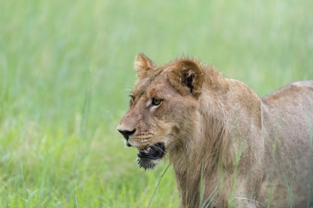 A young male lion in the morning Stock Photo