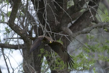 A yellow billed kite