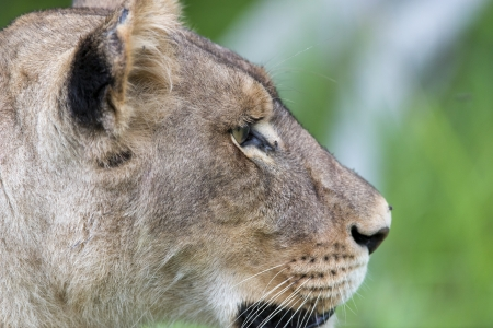 agression: A lioness in the morning  close