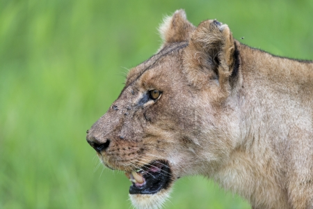 A lioness in the morning Stock Photo - 17217875
