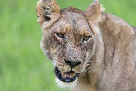 A lioness in the morning portrait Stock Photo