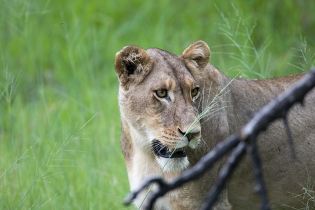 A lioness enjoying the morning