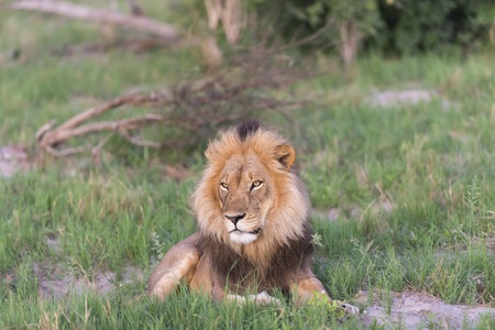 A male Lion in the late afternoon Stock Photo - 17217872