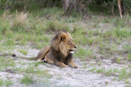 A male Lion at sunset Stock Photo - 17217383
