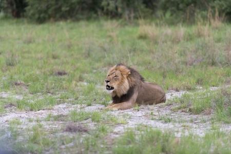 A roaring male Lion  Stock Photo