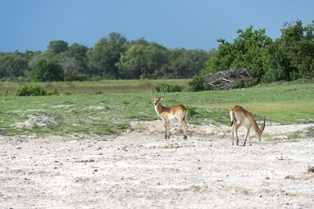 Two Red Lechwe s Stock Photo