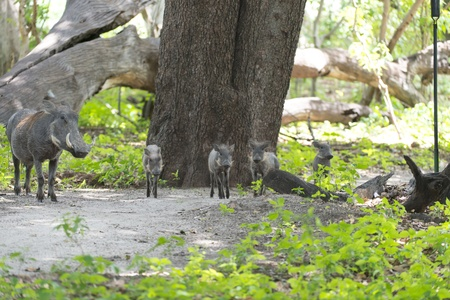 Family of warthogs