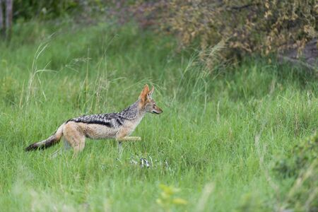 A black backed jackal in the grass