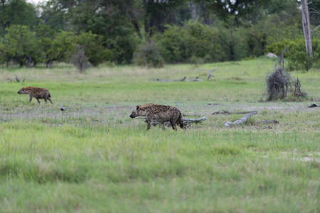 A young Hyena on the move