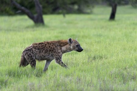 A young Hyena on the move Stock Photo - 17217375