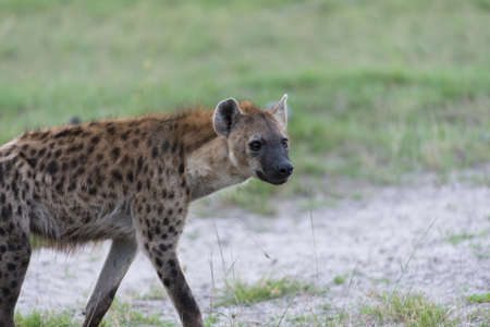 A young Hyena on the move Stock Photo - 17217348