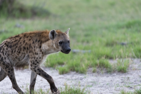 A young Hyena on the move Stock Photo - 17217390