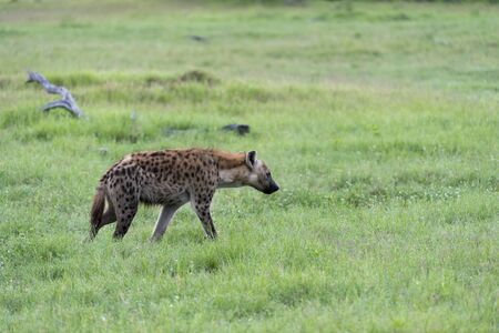 A young Hyena on the move Stock Photo - 17217380