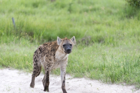 A young Hyena on the move Stock Photo - 17217358