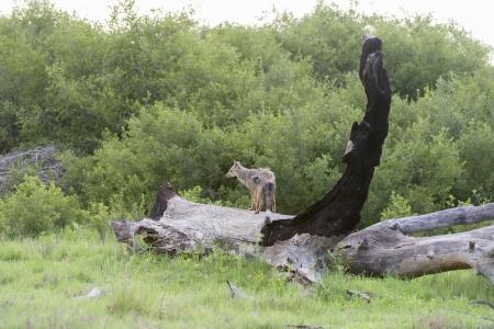 Side Striped Jackal on a dead tree