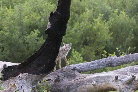 Side Striped Jackal on a dead tree