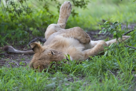 A young male lion relaxing Stock Photo - 17217384