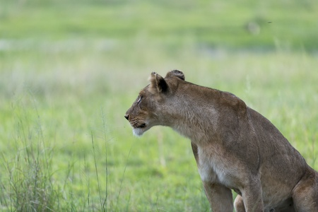 Lioness in the afternoon Stock Photo - 17217355