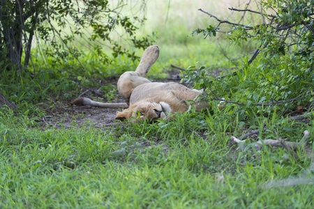 A young male lion relaxing
