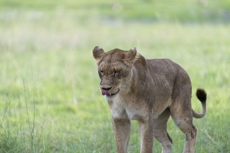 A lioness in the afternoon Stock Photo - 17217349