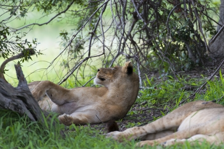 Young male lion minding the flies Stock Photo - 17217337