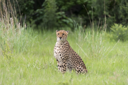 Cheetah before a kill photo