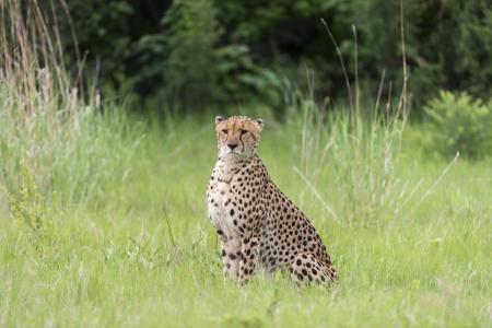 Cheetah before a kill Stock Photo