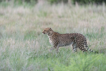 Cheetah on the hunt photo