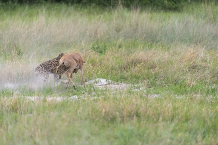 Cheetah making a kill photo