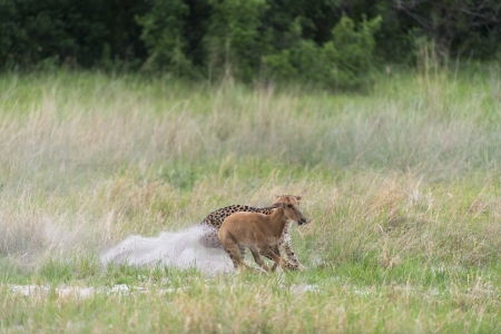 Cheetah chasing and making a kill photo