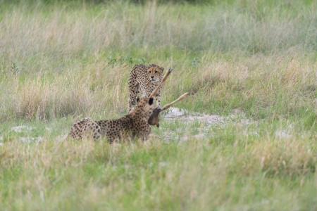 Cheetah making a kill