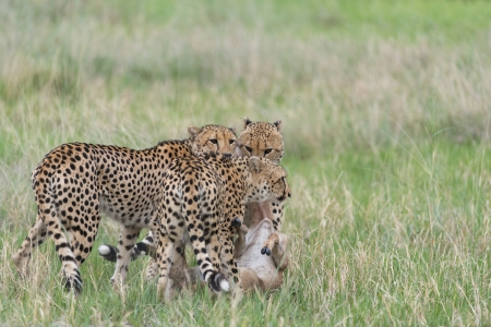 Cheetah kill photo