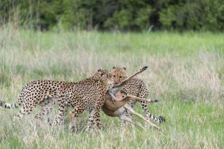 Cheetah kill Stock Photo - 17203951