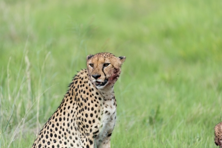 Cheetah after the kill photo
