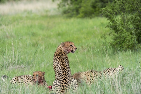 Cheetah s eating photo