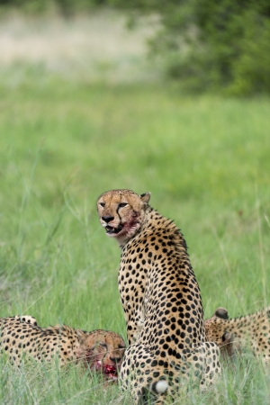 Cheetah s eating Stock Photo