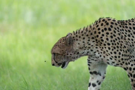 Cheetah moving around