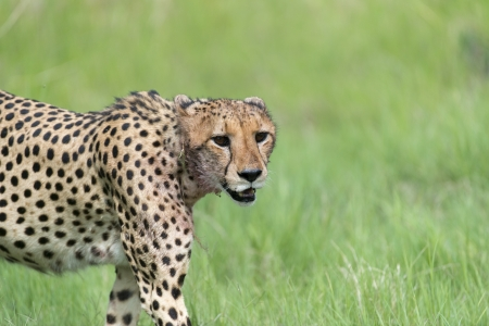 Cheetah on the move after breakfast photo
