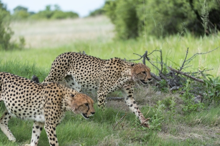 Cheetah s on the move after breakfast Stock Photo