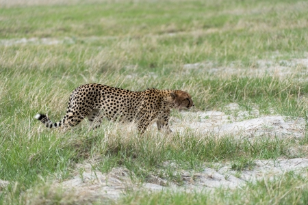 Cheetah on the move after breakfast