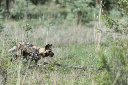 Africa Wild dog on the move Stock Photo - 17238371