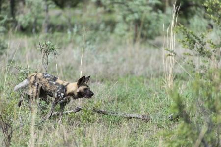 implacable: Afrique du chien sauvage sur la route